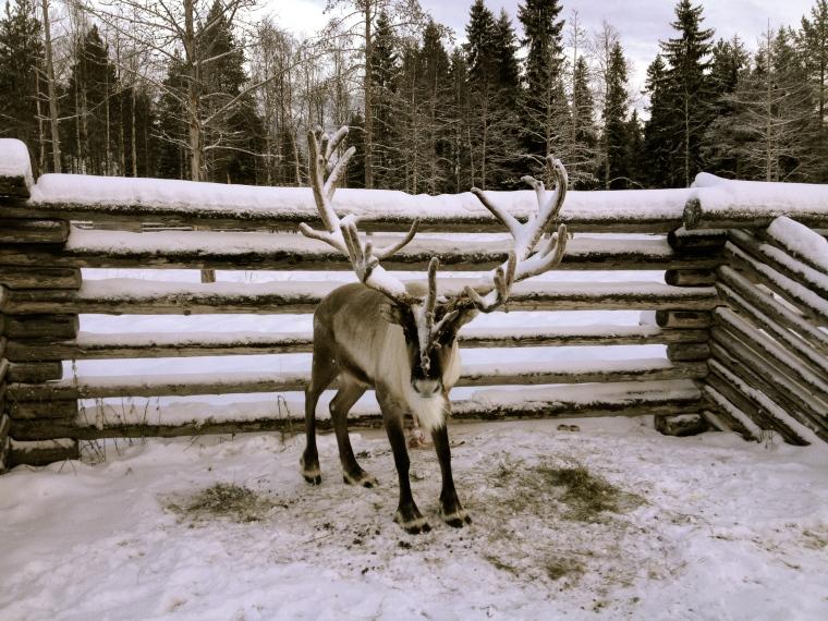 Rovaniemi, raindee, renne, globazinetouch